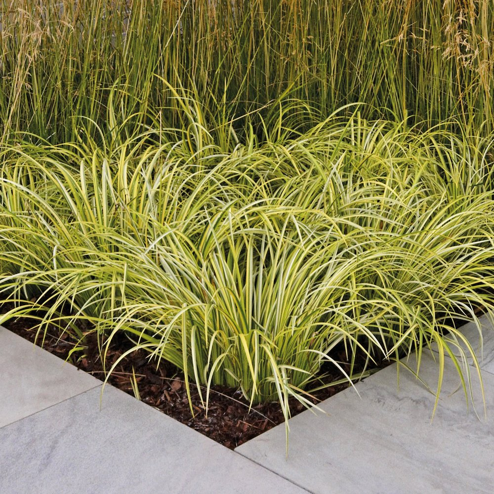 Evergreen Grass Plants Ornamental Carex, Low Maintenance Architectural Hardy Plant for Outdoors with Variegated Foliage Perfect for Rock & Gravel Gardens, 1 x Carex Jenneke in 3 Litre Pot by Thompson & Morgan