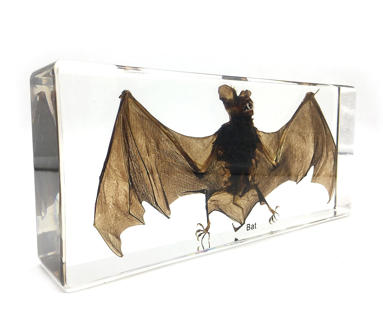 Taxidermy Real Bat Specimens Science Classroom Specimen for Science Education(7.9x3.6x1.6 inch) Amazingbug