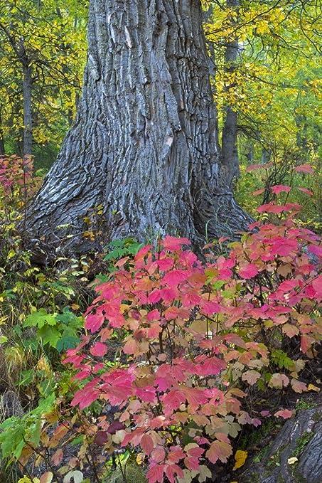 Amazon com: Posterazzi Cranberry Bush And Cottonwood Tree Along Crow