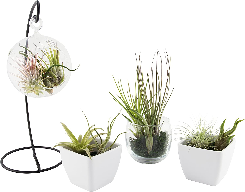 random named tillandsia 3 x Airplant lucky dip selection easy care house plant