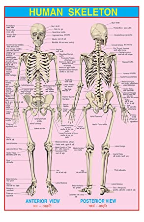 IBD PVC laminiert Menschliches Skelett Durable Kinder Bildungs-Wand ...