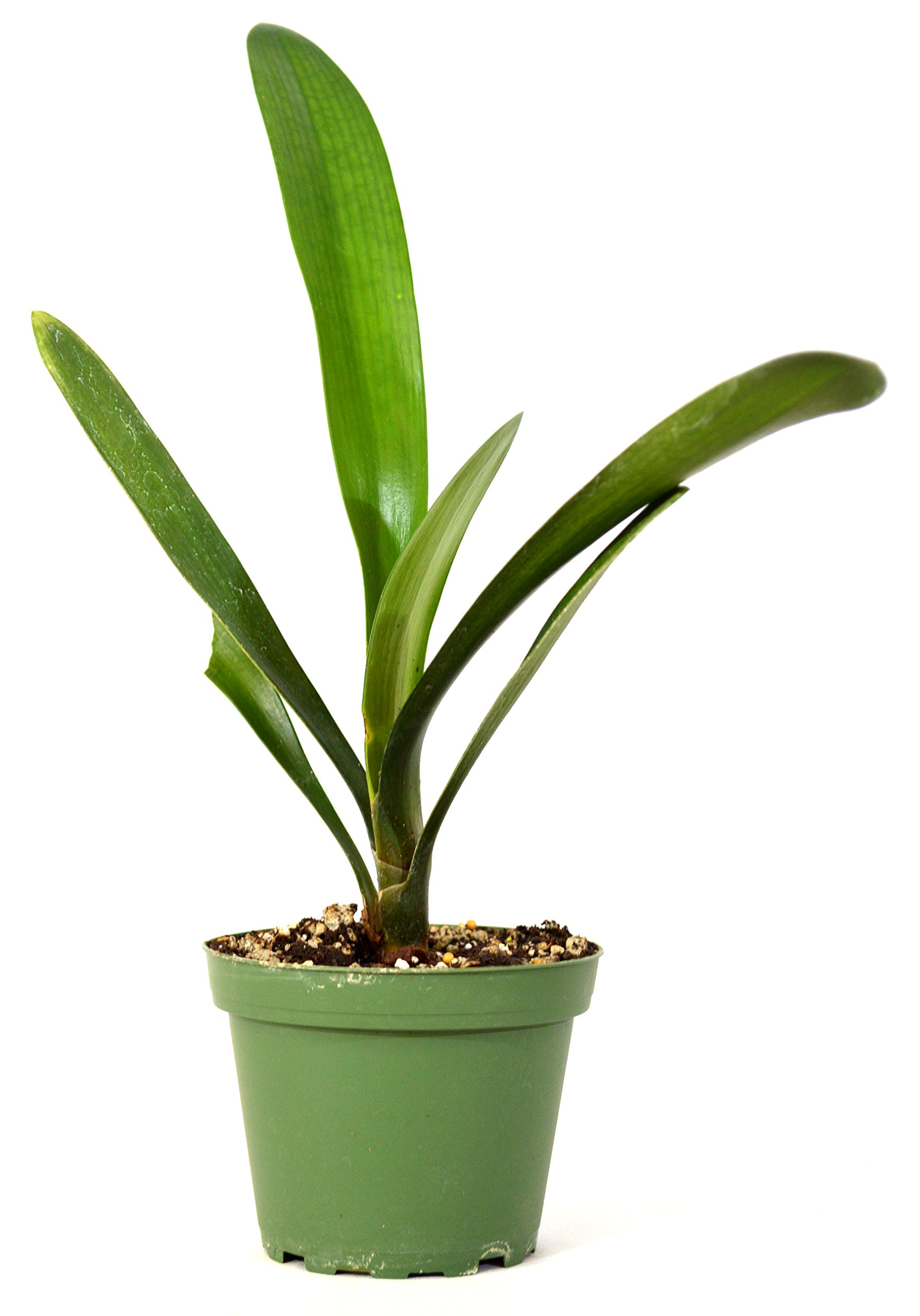 "9GreenBox - Good Hope Clivia - 4"" Pot Live Plant Ornament Decor for Home, Kitchen, Office, Table, Desk - Attracts Zen, Luck, Good Fortune - Non-GMO, Grown in The USA"