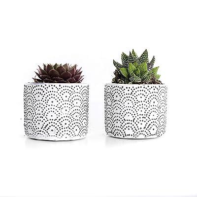 """Plants by Post 2.5"""" White 3.5"""" Mini Live Succulent Wave Ceramic Pot : Garden & Outdoor"""