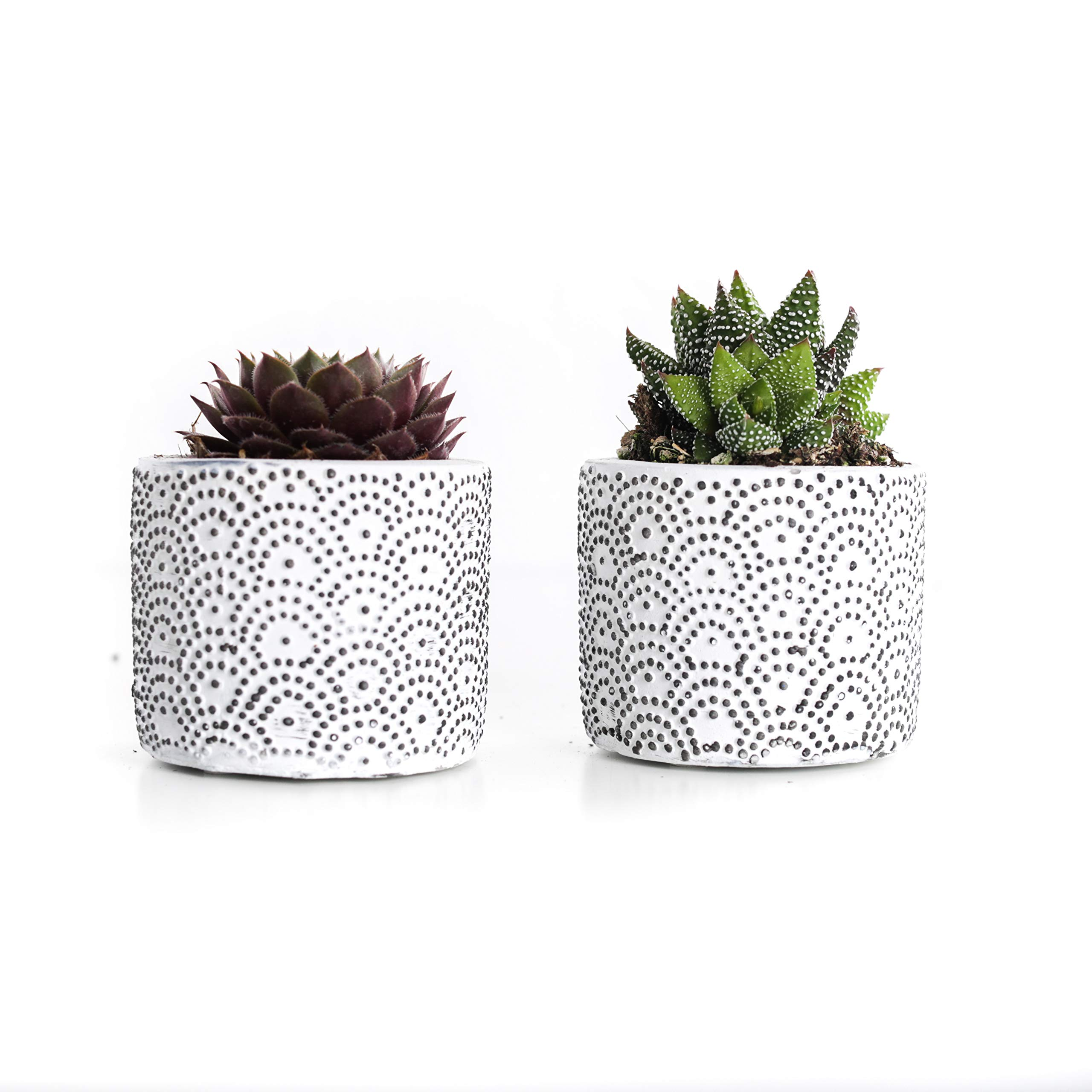 Plants by Post 2.5'' 3.5'' Mini Live Succulent in White Wave Ceramic Pot,