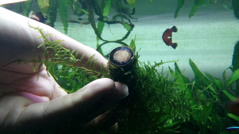 Fish Tank Decoration Wood Java Moss on Bamboo Stick 30cm Biotope Aquatics Ltd Live Aquarium Plant