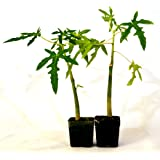 9GreenBox -TR Hovey Papaya Carica L. Caricaceae ~ Miniature Tree- 2 Pack