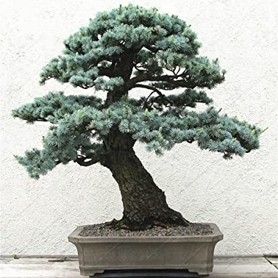 Mggsndi 10Pcs Five-leaved Pine Seeds Bonsai Tree Ornamental Plants Home Office Decor - Heirloom Non GMO - Seeds for Planting an Indoor and Outdoor Garden Five-leaved Pine Seeds : Garden & Outdoor