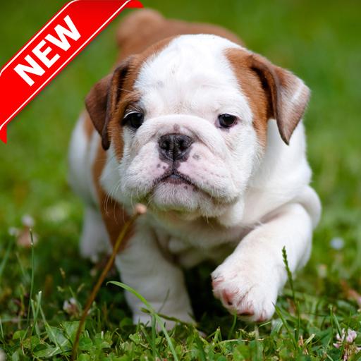 Pitbull Pup Wallpaper HD (Pit Bulldogs)