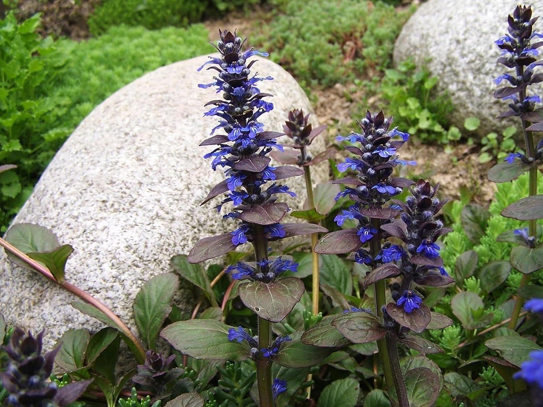 Amazon ajuga reptans bugle flower groundcover seeds garden amazon ajuga reptans bugle flower groundcover seeds garden outdoor izmirmasajfo