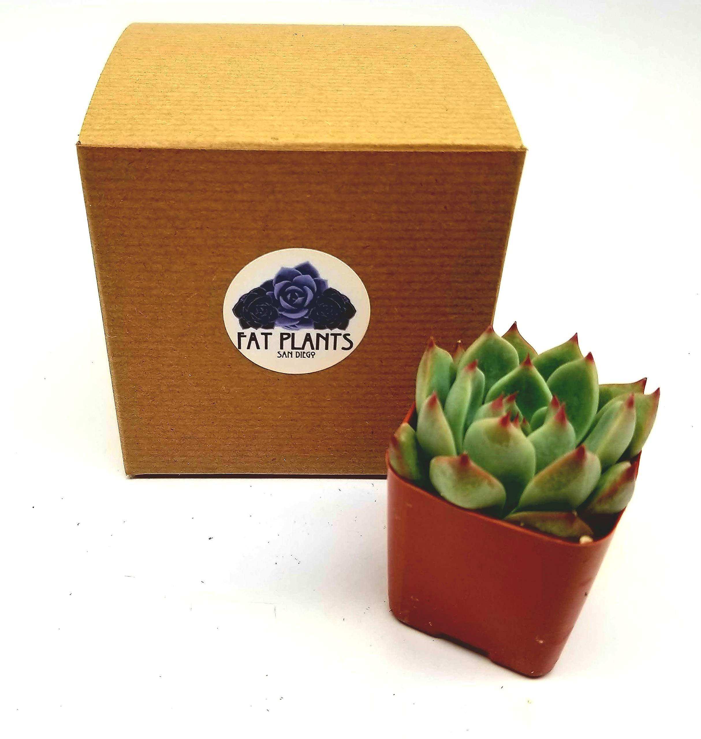 Fat Plants San Diego All Rosette Succulent Plants in 2 Inch Pots (4)