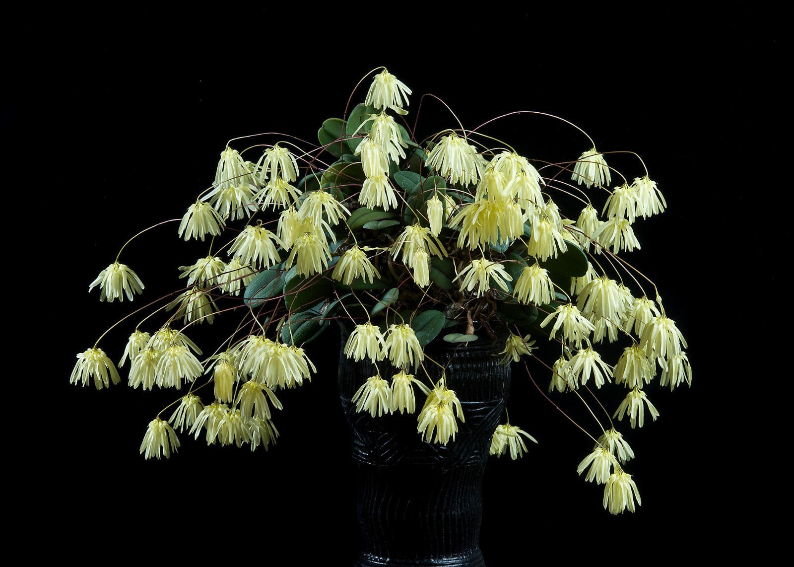 Bulbophyllum othonis - Philippines specie! Collector's item! Hard to find! orchid plant