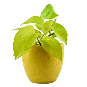 Giftffairs Good Luck Air Purifying Live Golden Money Plant in Yellow Colour Kangaroo Design Pot