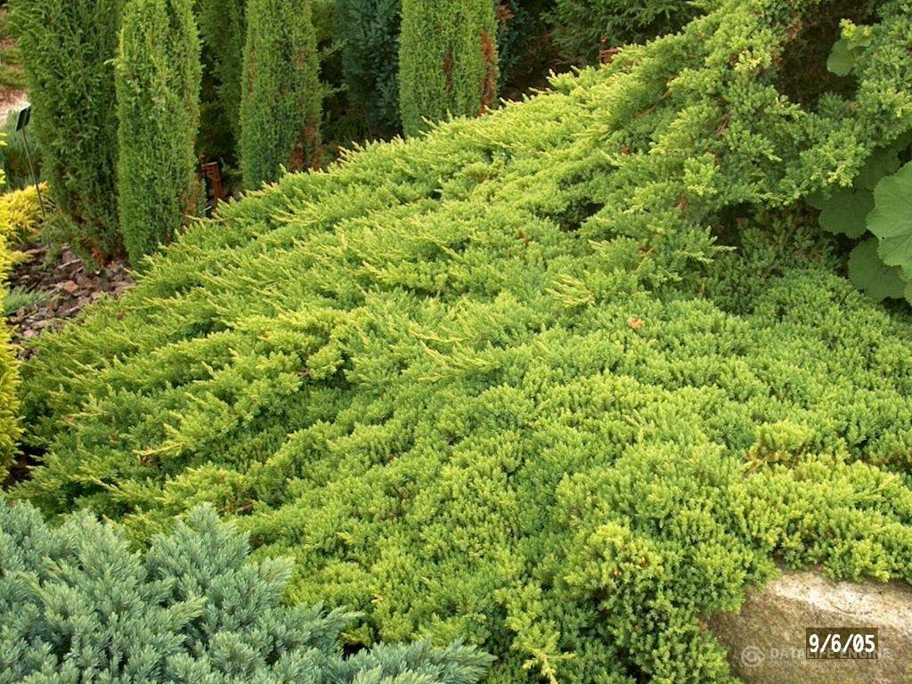 Juniper Procumbens Nana Qty 60 Live Plants Groundcover by Florida Foliage (Image #5)