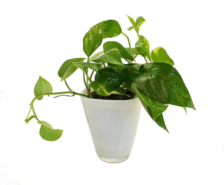 Epipremnum Efeutute Dominik Blumen und Pflanzen wei/ß mit Dekotopf