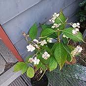 dominik blumen und pflanzen hortensie hydrangea serrata indian summer 1 pflanze 2 3 triebig. Black Bedroom Furniture Sets. Home Design Ideas