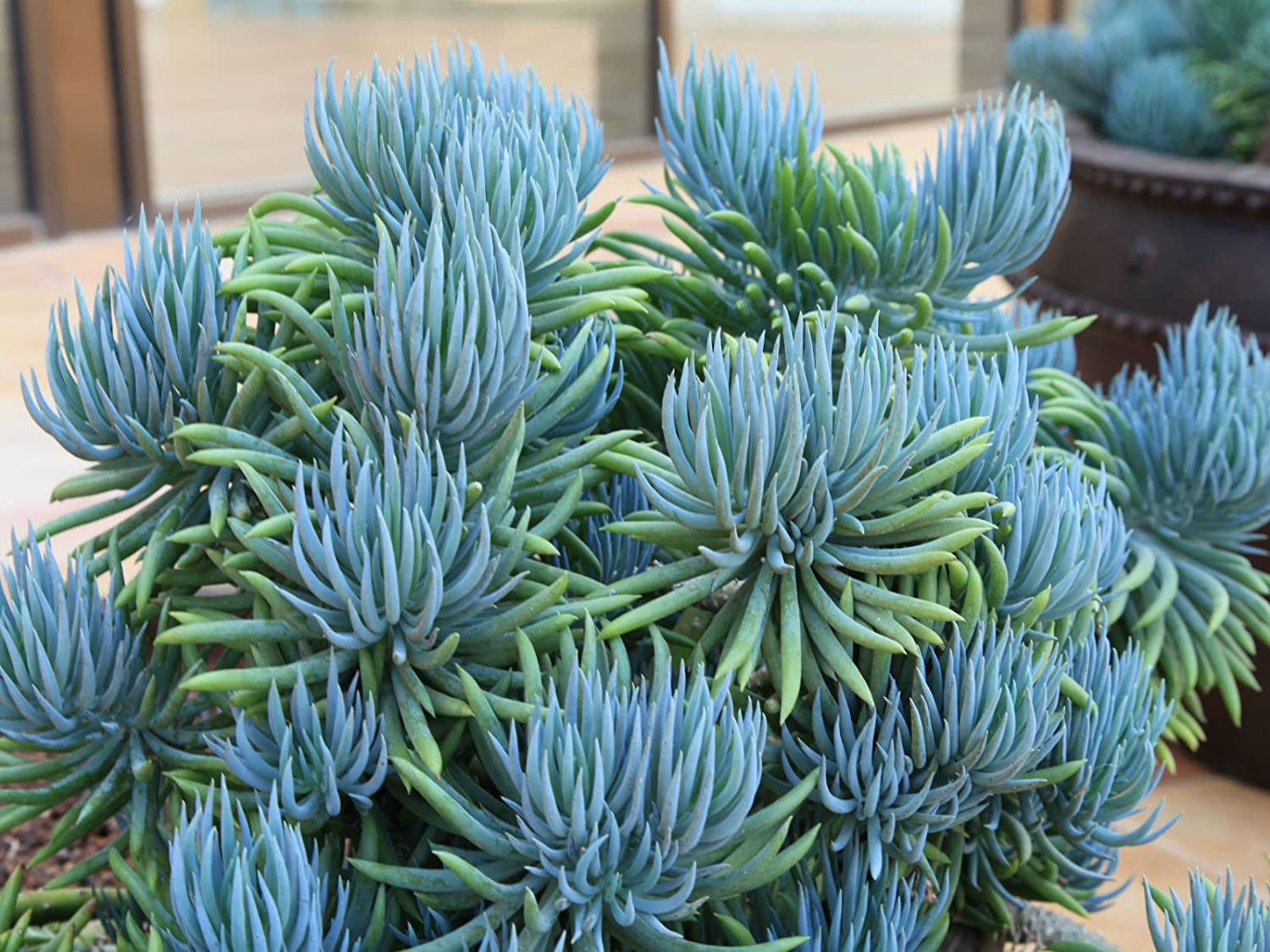 Blue chalk sticks plant - Amazon Com Blue Chalk Sticks Blue Stick Succulent Senecio Mandraliscae Live Plant Garden Outdoor