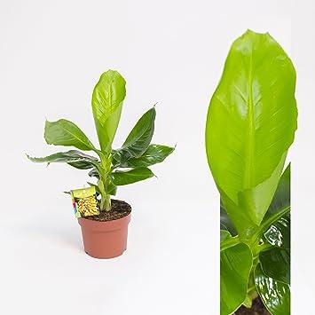 Beliebt Bevorzugt Inter Flower -Musa Tropicana(Musa acuminata), Bananenpflanze #AA_66