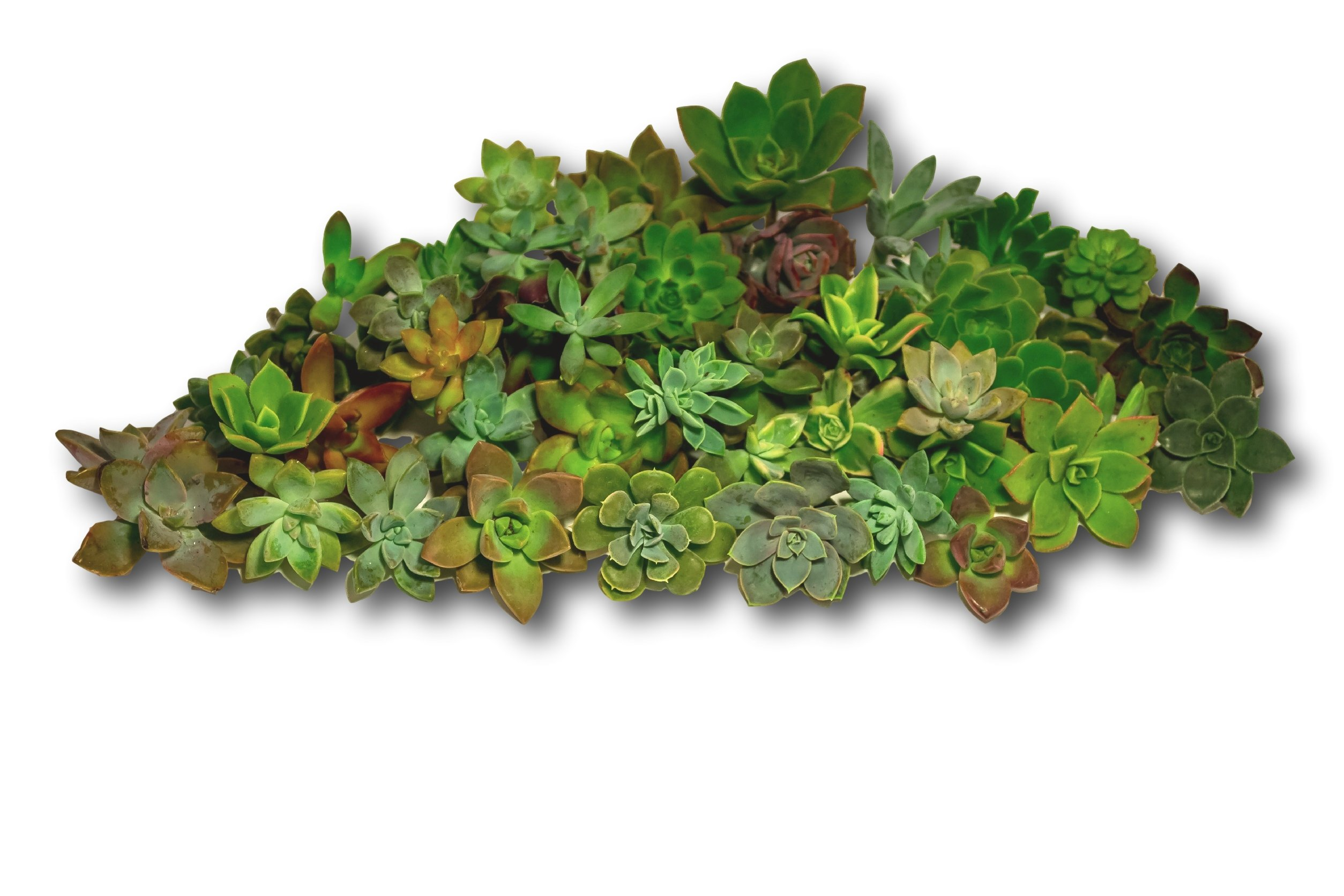 Fat Plants San Diego All Rosette Succulent Cutting Packages