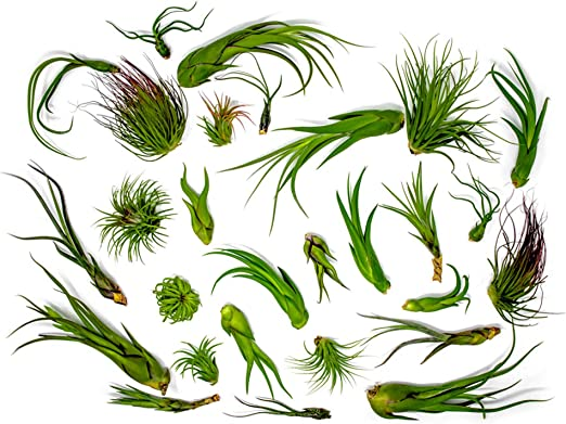12 Pack Sputnik Shells with Air Plants Wedding Favors FAST SHIPPING 30 Day Guarantee Wholesale Air Plants