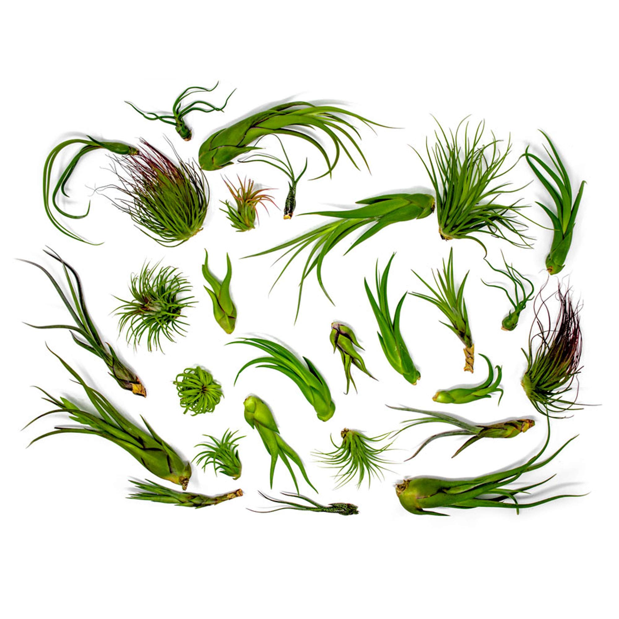 50 Air Plants Bulk | Live Tillandsia Plant Lot | Bulk Wedding Favors | DIY Party Gift | Air Succulents Set | Box Wholesale Lots by Plants for Pets by Plants for Pets