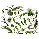50 Air Plants Bulk | Live Tillandsia Plant Lot | Bulk Wedding Favors | DIY Party Gift | Air Succulents Set | Box Wholesale Lo