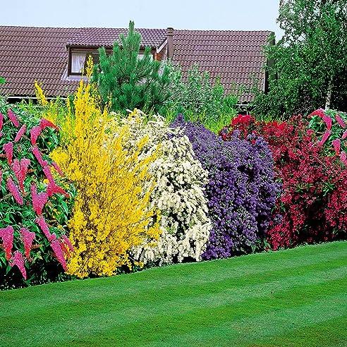 Blühende Hecke - 5 Heckenpflanzen: Amazon.De: Garten