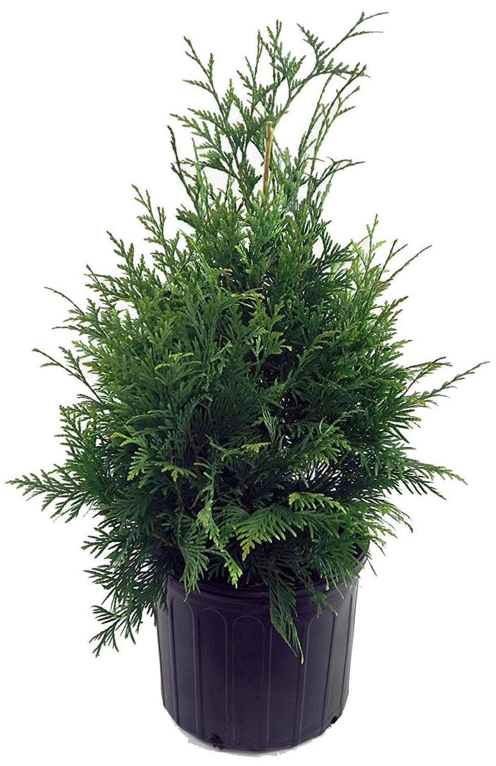 Thuja X 'Green Giant' (Western Arborvitae) Evergreen, 3 - Size Container