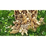 Large Kit Morel Mushroom Spores Sawdust Seed - 25 Gallon Kit