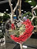 Hallmark Flowers Live Air Plants, Tillandsia