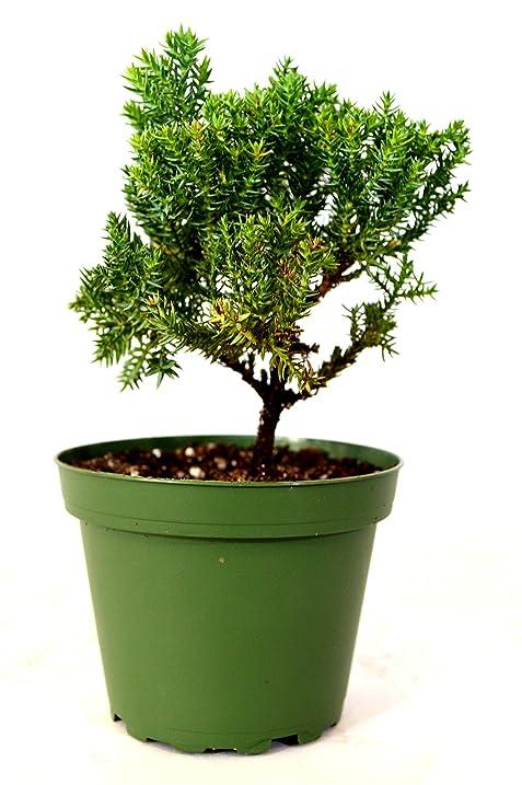 Amazon.com : 9GreenBox - Juniper Bonsai Starter - 4\'\' Pot : Live ...