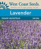 Lavender Seeds - Dwarf Munstead
