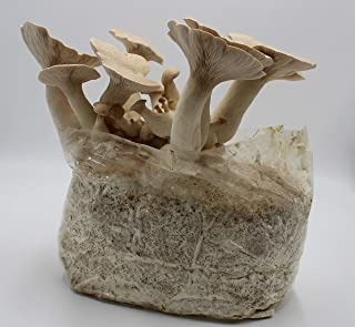 Bio Kräuterseitling Pilzzucht Kultur - 5kg große Bio Fertigkultur - Pilze einfach selber züchten