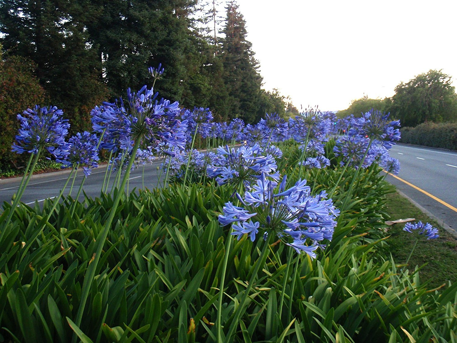 Amazon agapanthus lily of the nile qty 30 live plants amazon agapanthus lily of the nile qty 30 live plants groundcover garden outdoor izmirmasajfo