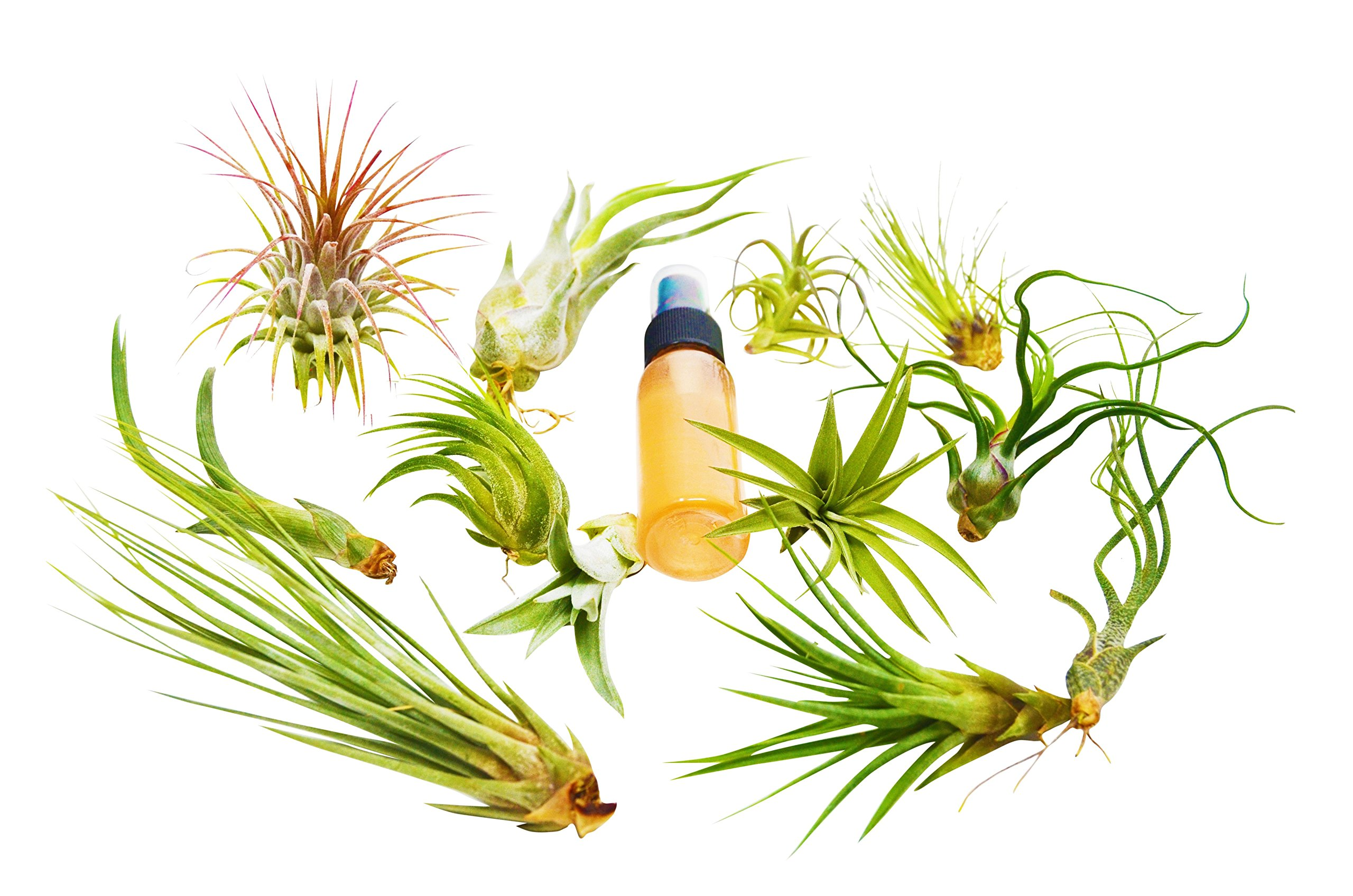 13 Pcs Tillandsia Air Plant Pack w/ Fertilizer Spray / 12 Different Species of Plants Included / Care Guide by House Plant Shop