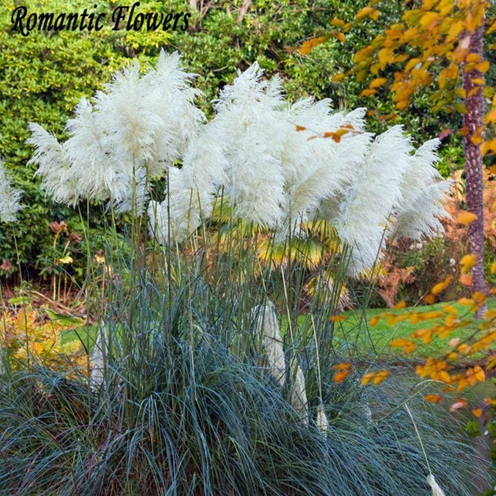 ESHOO Pampas Samen Home Garten Zierpflanzen Gras Blumen Samen