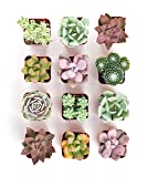 Shop Succulents | Premium Pastel Collection of Live Succulent Plants in Gift Box, Hand Selected Variety Pack of Mini Succulents | Collection of 12