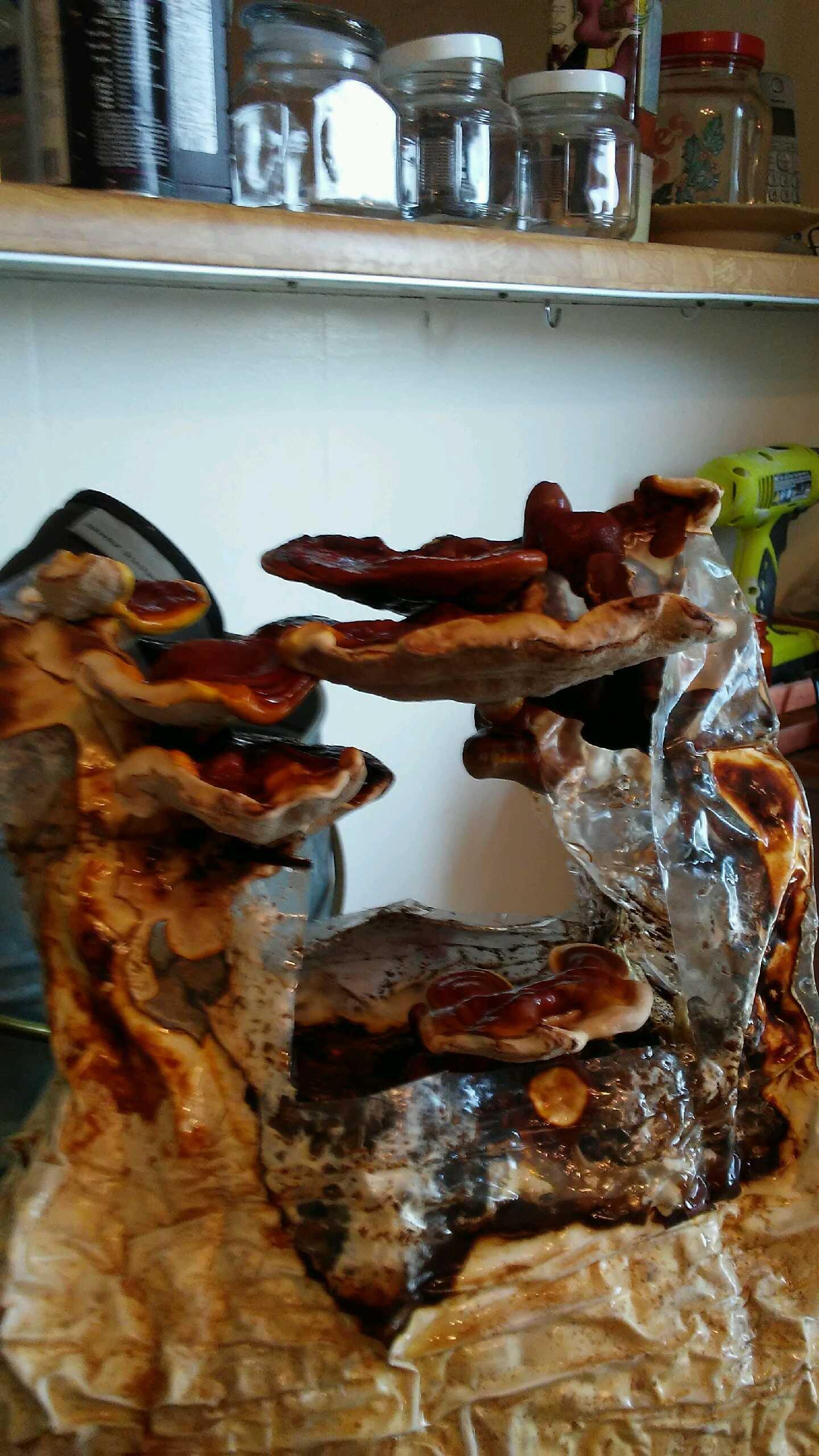 Reishi Mushroom Kit - Indoor Mushroom Growing Kit - Grow Edible Mushroomsl & Fungi. Easy & Fun Mushroom Grow Kits