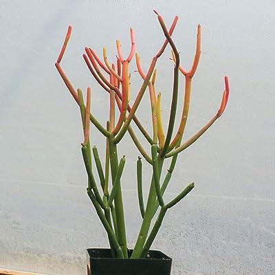 Euphorbia tirucalli Pencil Cactus Cactus Cacti Succulent Real Live Plant : Garden & Outdoor