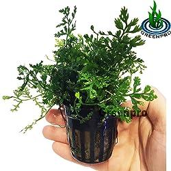 Greenpro Bolbitis Difformis Baby Leaf Fern