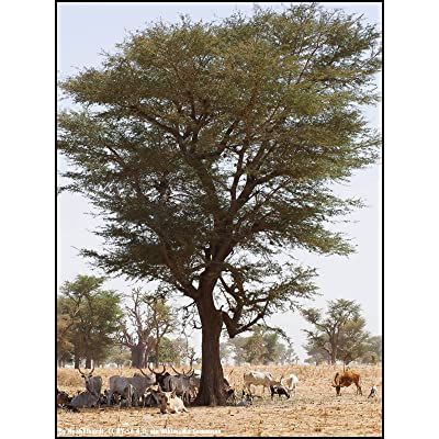 Faidherbia albida - Apple-Ring Acacia - 10 Seeds for Planting : Garden & Outdoor