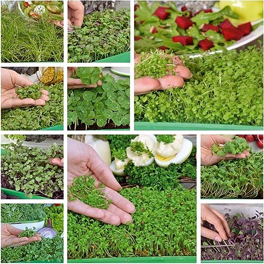Microgreens - Diablo - mezcla sabrosa - Juego de 10 piezas con un ...