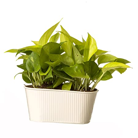 Exotic Green Indoor Oxygen & Air Purifier Plant Golden Pothose in Metal Pot Ornamental & Shade Trees at amazon