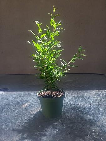 9GreenBox   Dwarf Pomegranate Tree   4u0027u0027 Pot