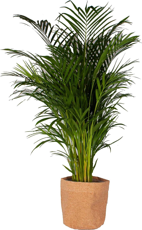 Planta de interior – Palma Areca en maceta de corcho como un ...