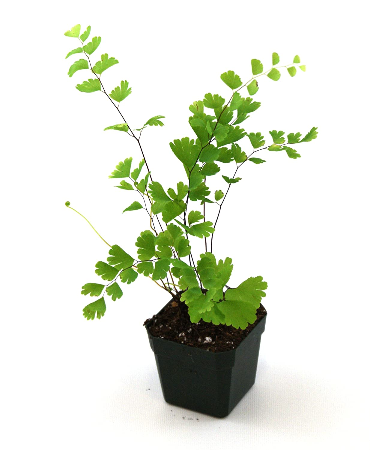 Adiantum capillus-veneris – Southern Maidenhair Fern: Amazon ...