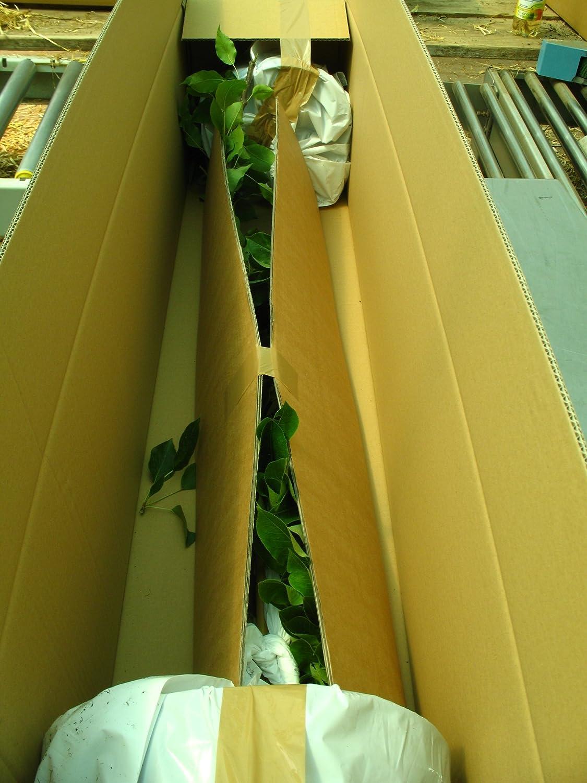 Actinidia arguta Kiwistrauch Busch Hayward Kiwi weiblich Obstbaum winterhart 60-100 cm Kiwi braun im Topf