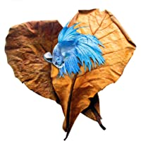 SunGrow Indian Almond Leaves for Betta, 9 Inches Long, Induce Breeding and Boost Immunity, Reduce Stress, No Toxic…