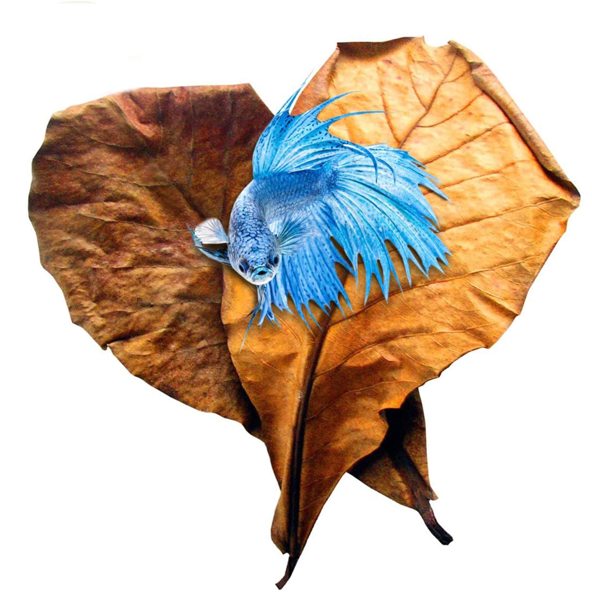 SunGrow Indian Almond Leaves for Betta, 8 Inches Long, for Playing and Hiding and Overall Development, Easy to Use, 10 Leaves per Pack