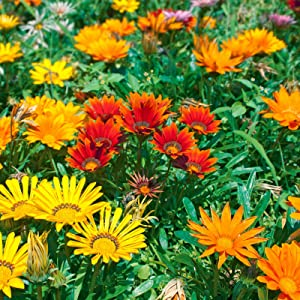 New Day Series Gazania Flower Garden Seeds - Mix - 100 Seeds - Annual Flower Gardening Seeds - Gazania splendens