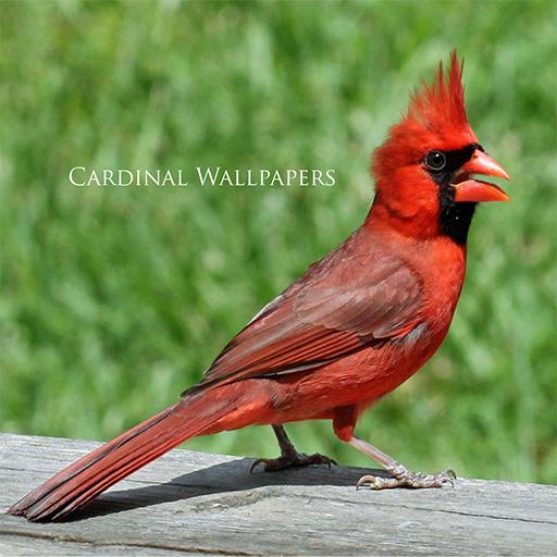 Cardinal Wallpapers (Cardinal Pic)